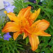 Location: Nora's Garden - Castlegar, B.C.Date: 2016-07-13- An immediate attention getter. Plant with Campanula p