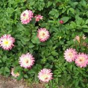 Location: Dahlia garden - full sun - zone 7Date: 2018-10-06Excellent plant. Loaded with blooms.