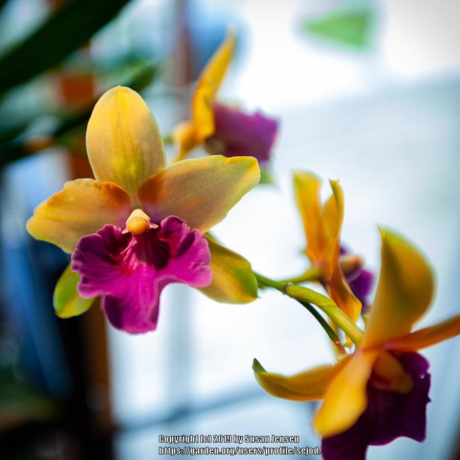 Photo of Orchid (Miltonia Juicy Fruit 'Mexico') uploaded by sejod