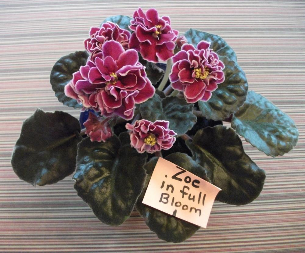 African Violets: Plant Care and Collection of Varieties