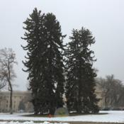 Location: University of Utah, Salt Lake City, Utah, United StatesDate: 2019-01-11Very old trees.
