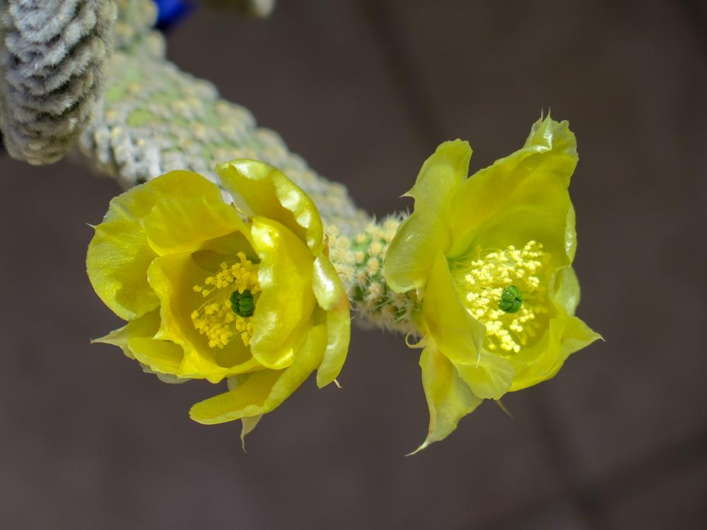 Photo of Bunny Ears (Opuntia microdasys) uploaded by Baja_Costero