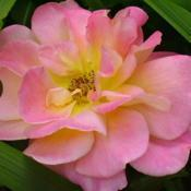 Location: Riverview, Robson, B.C.Date: 2006-06-29- Growing in poor soil and in shade, the Peace Rose sti