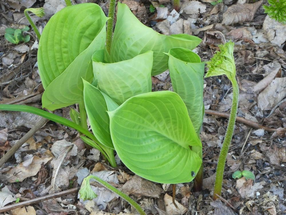 Photo of Hosta 'Empress Wu' uploaded by lauribob