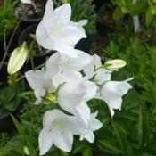 Location: Nora's Garden - Castlegar, B.C.Date: 2013-06-22- Sturdy stalks, but delicate white blossoms.