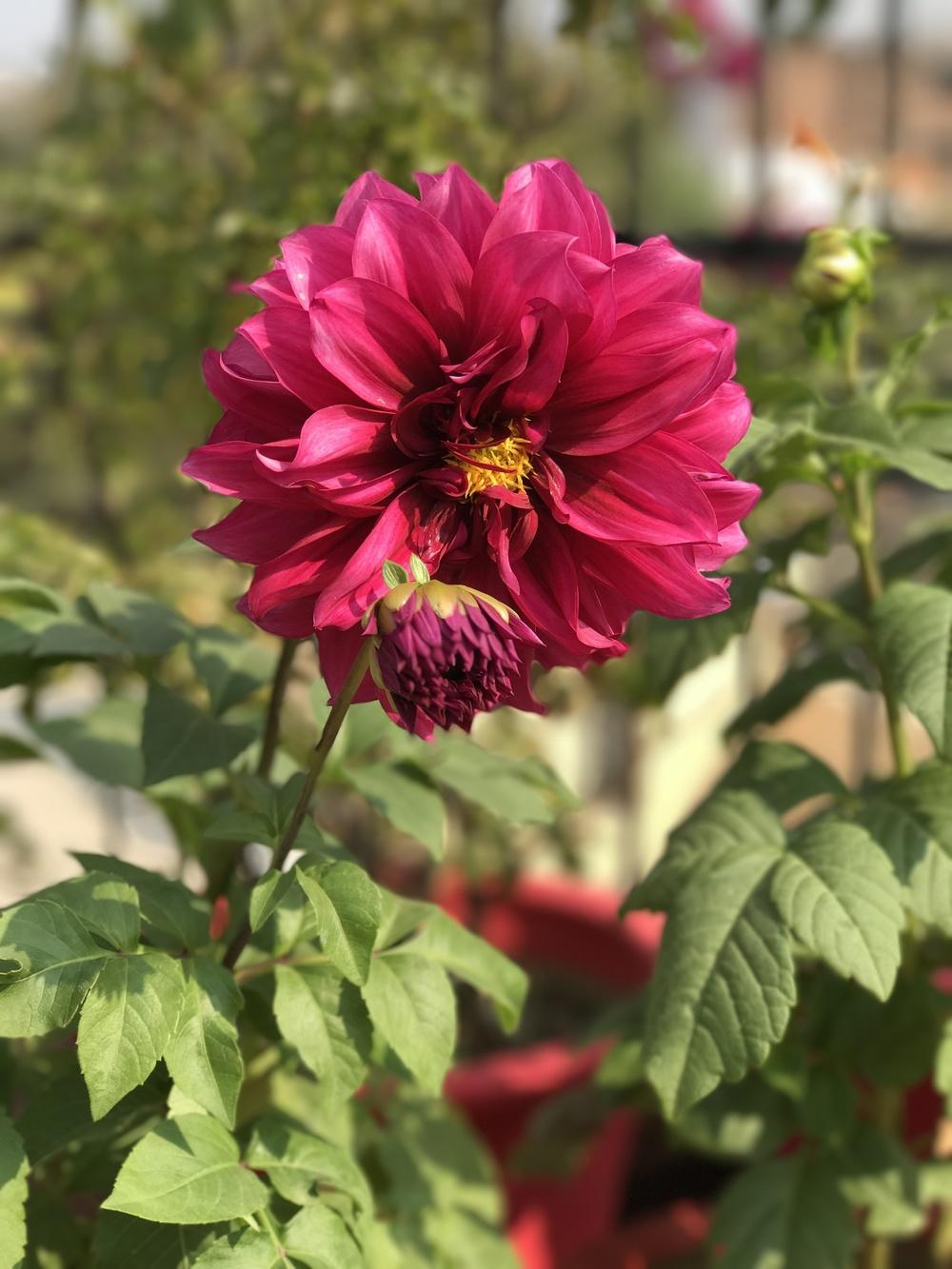 Photo of Dahlias (Dahlia) uploaded by queen1694
