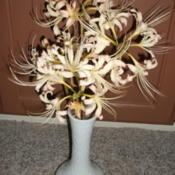 Location: In my houseDate: 2014-09-05A vase of my pretty creamy Lycoris