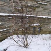 Location: Wayne, PennsylvaniaDate: 2019-01-13mature shrub in winter