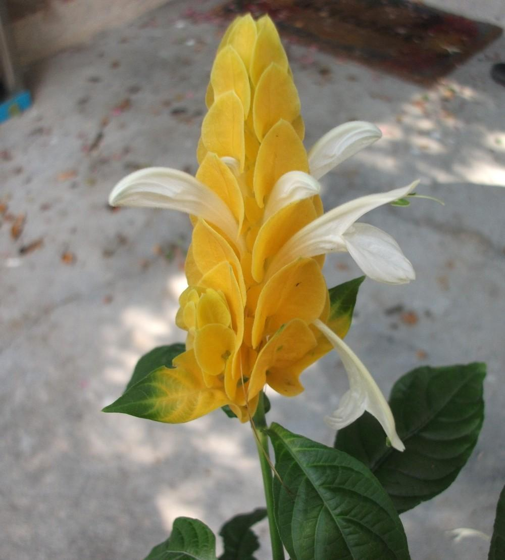 Photo of Golden Shrimp Plant (Pachystachys lutea) uploaded by tabbycat