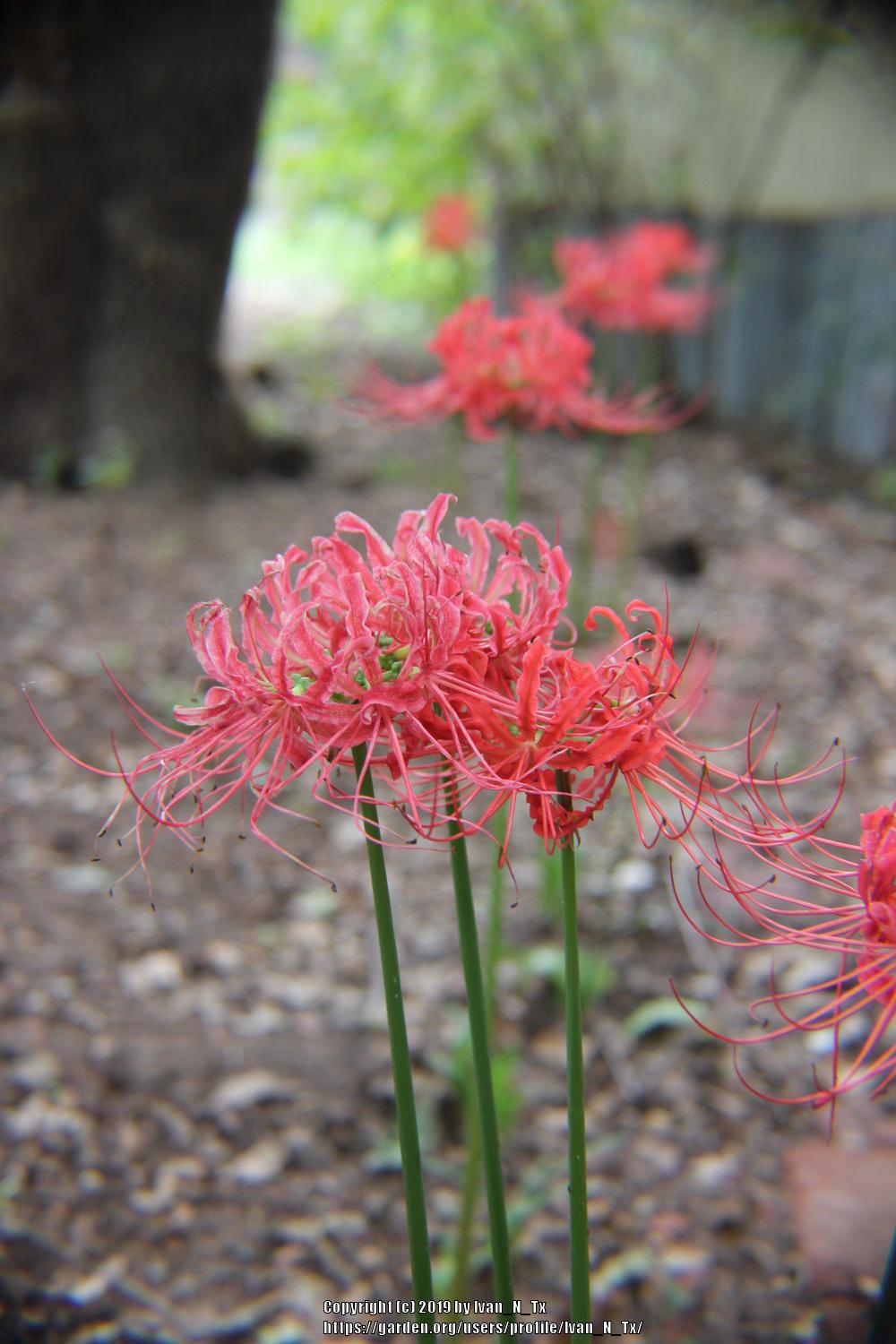 Photo of Red Spider Lily (Lycoris radiata) uploaded by Ivan_N_Tx