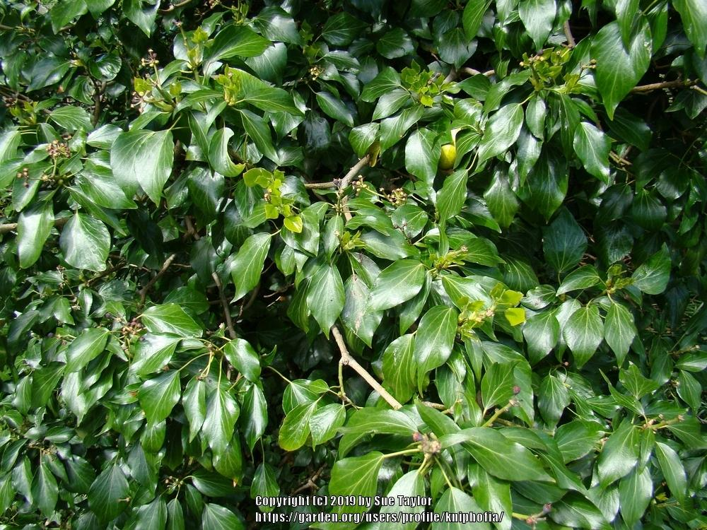Photo of English Ivy (Hedera helix) uploaded by kniphofia