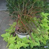 Location: Zone 9 Louisiana my yardDate: 2018-10-12My young potted plant with contrasting potato vine