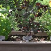 Location: My patio zone 9 LouisianaDate: 2018-07-10Makes a colorful combination with green basil varieties