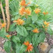 Location: Zone 9 Louisiana in my backyardDate: 2018-05-18Sometimes called 'Orange Flame' chrysotephana justicia