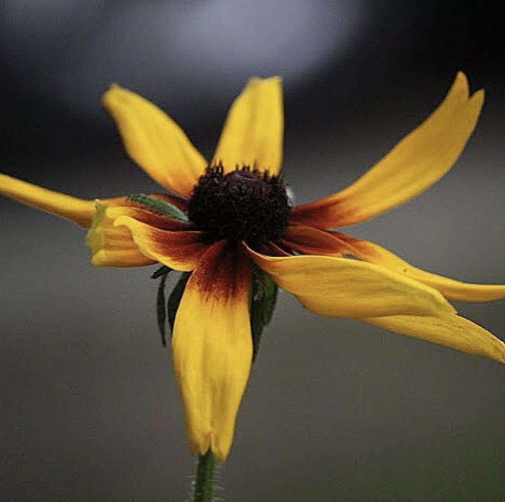 Photo of Black Eyed Susans (Rudbeckia) uploaded by queen1694