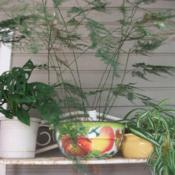 Location: My patio zone 9 LouisianaDate: 2018-07-06Middle plant in filtered light on an upper shelf of bak