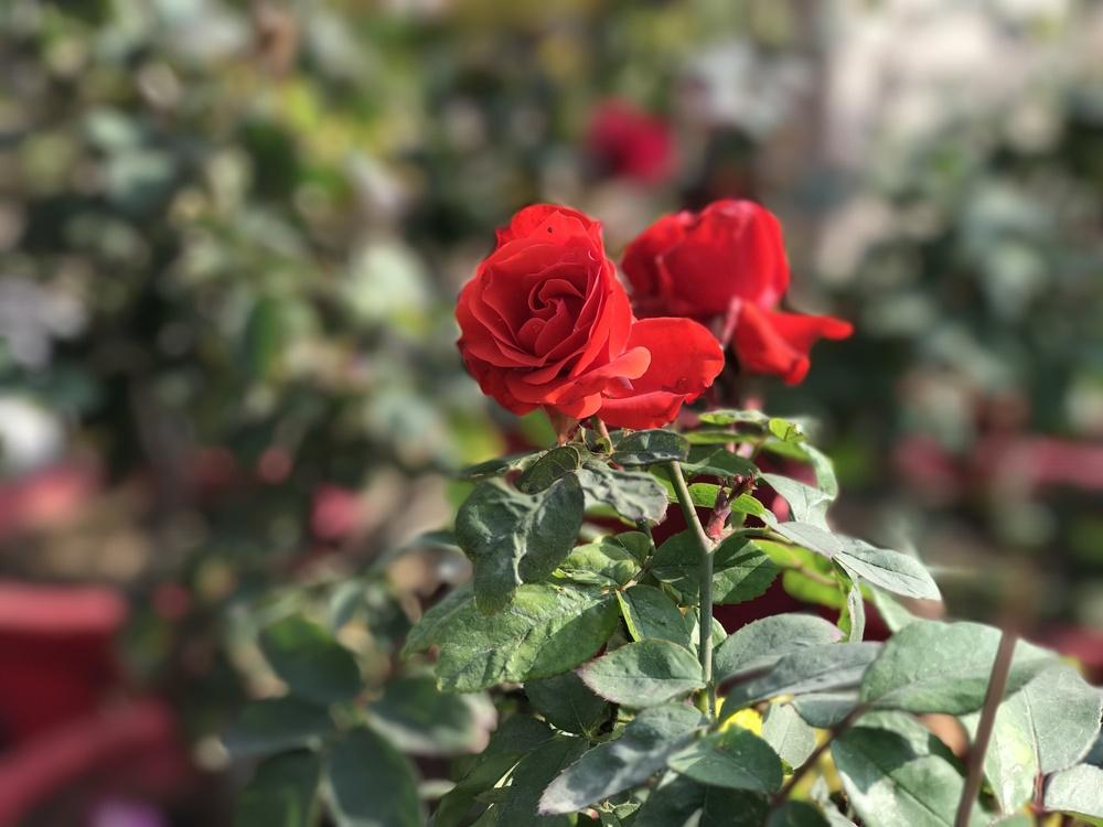 Photo of Roses (Rosa) uploaded by queen1694