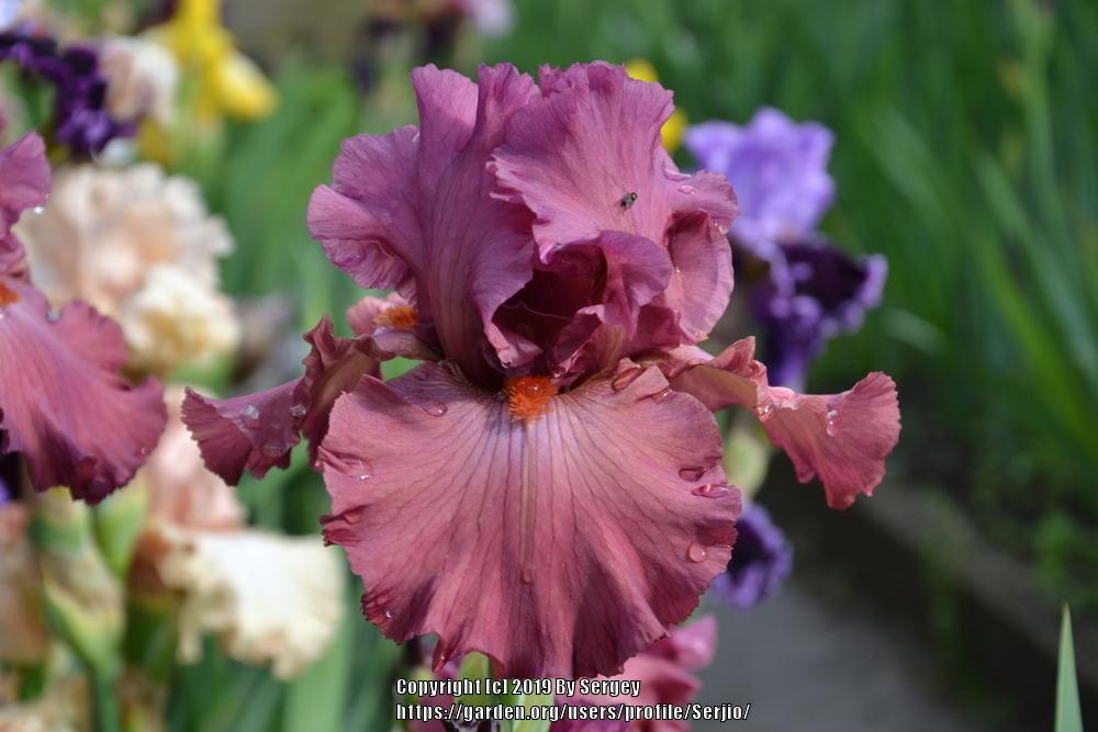 Photo of Tall Bearded Iris (Iris 'Fashionably Late') uploaded by Serjio