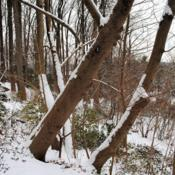 Location: Jenkins Arboretum in Berwyn, PennsylvaniaDate: 2019-01-13larger trunks in winter