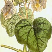 Date: c. 1807illustration from Curtis's Botanical Magazine, 1807