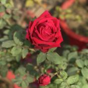 Location: My terrace garden, Jamshedpur- IndiaDate: 2019-01-25
