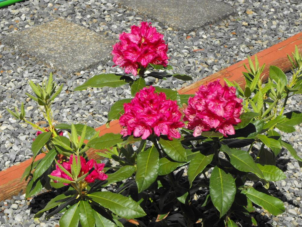 Photo of Rhododendron 'Nova Zembla' uploaded by Lily_Lover