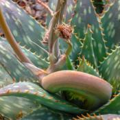 Location: Baja CaliforniaDate: 2010-12-25Aloe mite infestation