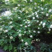 Location: West Chester, PennsylvaniaDate: 2016-06-15Oakleaf Hydrangea in white bloom