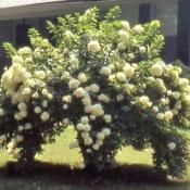 Location: southern MichiganDate: late summer in 1980'sPeeGee Panicled Hydrangea in bloom