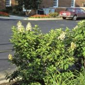 Location: West Chicago, IllinoisDate: September in the 1980'syoung shrub in parking lot island