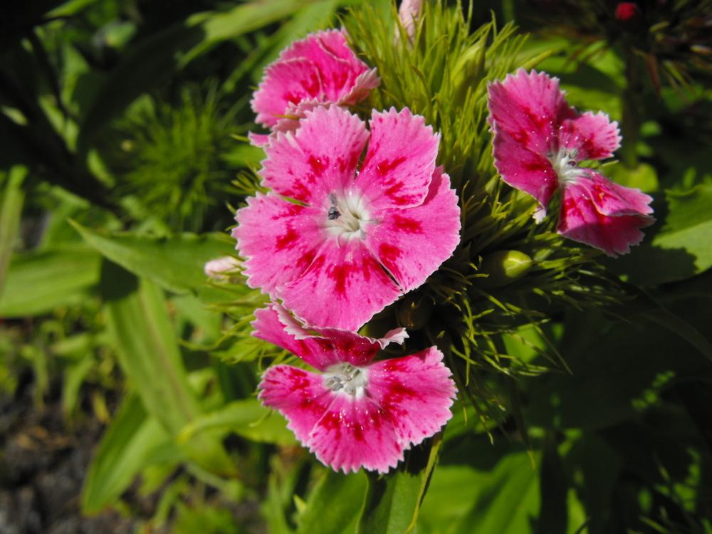 Photo of Sweet William (Dianthus barbatus) uploaded by Lily_Lover