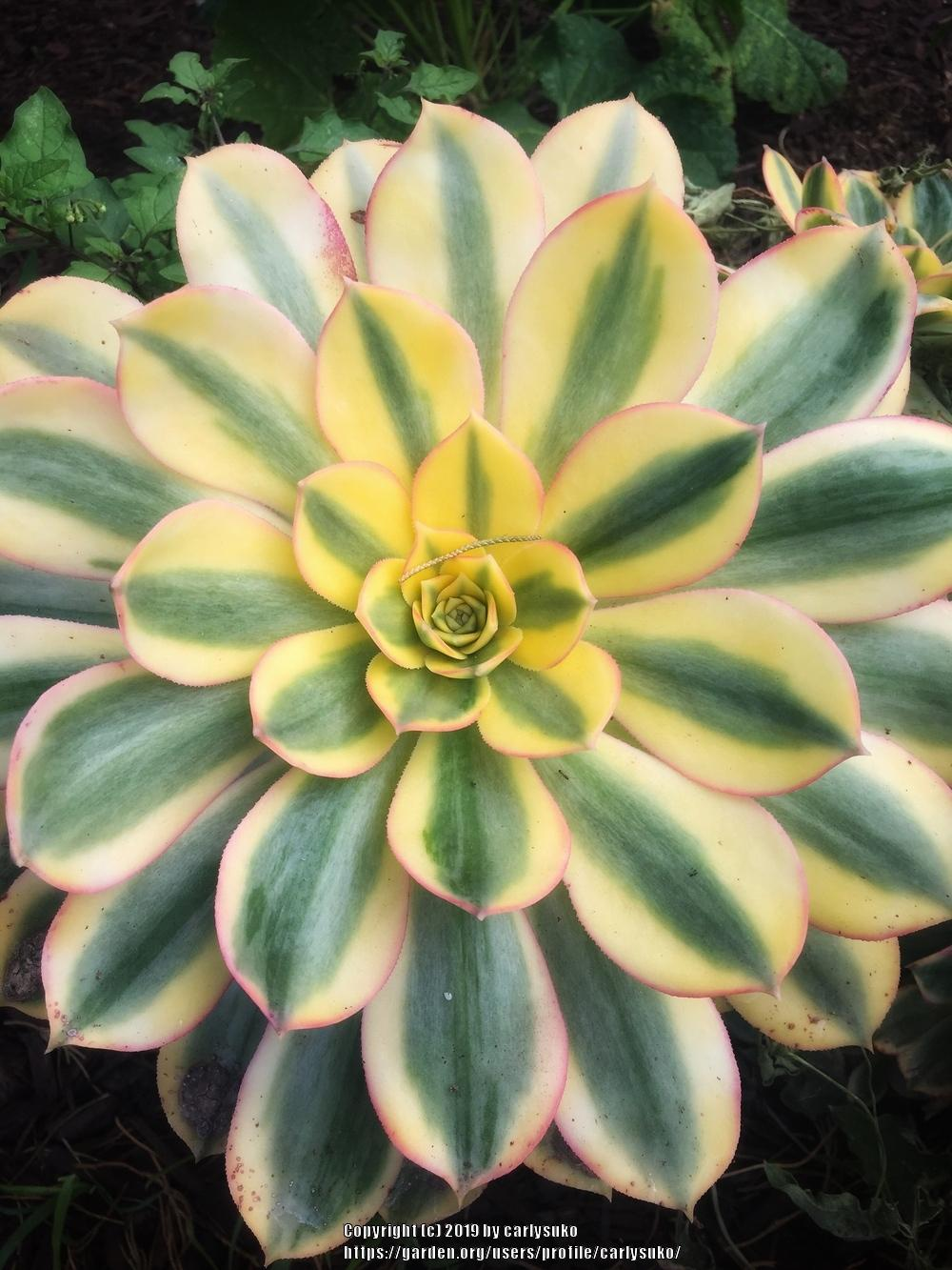 Photo of Aeonium (Aeonium decorum 'Sunburst') uploaded by carlysuko