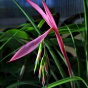 Location: PortugalDate: 2019-01-17Billbergia nutans (Queen's tears)