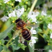 Location: PortugalDate: 2018-06-29Bee on oregano flowers