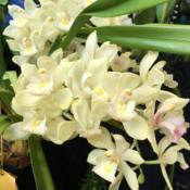 Location: Susquehanna Orchid Society Show at Milton & Catherine Hershey Conservatory at Hershey Gardens, Hershey, Pennsylvania, USADate: 2019-02-03