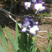Location: Iris garden - full sun - zone 7Date: 2016-05-29