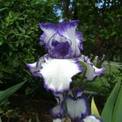 Location: Iris garden - full sun - zone 7Date: 2015-06-04