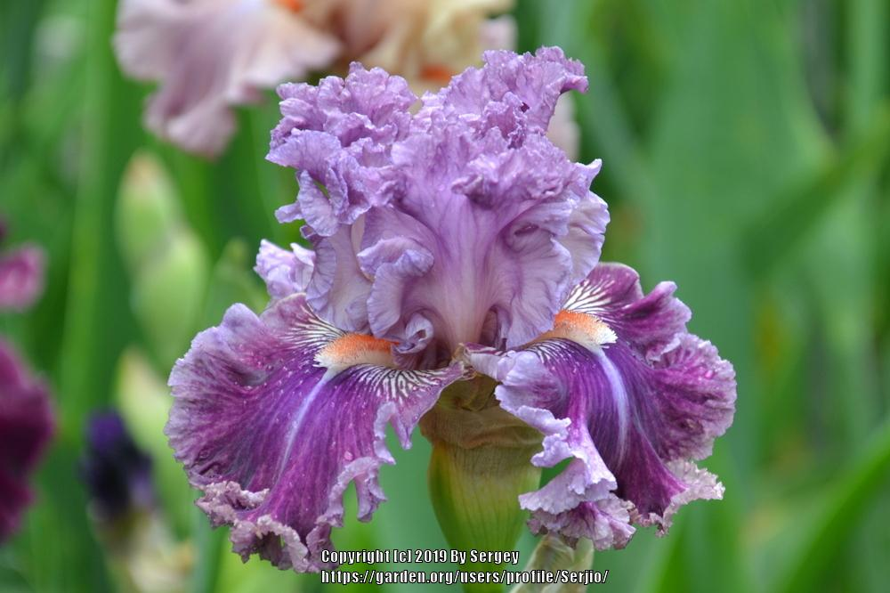 Photo of Tall Bearded Iris (Iris 'Just Witchery') uploaded by Serjio