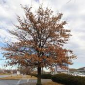 Location: Exton (Lionville), PennsylvaniaDate: 2019-02-08mature tree in shopping center landscape