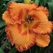 Photo courtesy of Bell's Daylily Garden