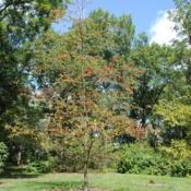 Location: Morton Arboretum in Lisle, IllinoisDate: 2017-09-05specimen in Appalachian Collection