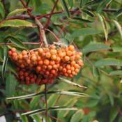 Location: Hawk Mountain Sanctuary, PennsylvaniaDate: 2015-08-27fruit cluster