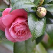 Location: Winter Springs, FL zone 9bDate: 2019-02-11Rich Pink Camellia, looks just like a rose. Leu Gardens