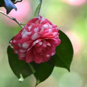 Location: Winter Park, FL zone 9bDate: 2019-02-11Camellia unknown at Leu Garden