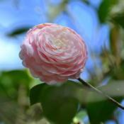 Location: Winter Park, FL zone 9bDate: 2019-02-11Pretty pink Camellia taken at Leu Gardens FL