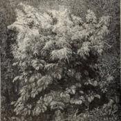Date: c. 1893illustration from the 1893 catalog, Shady Hill Nurseries, Cambrid