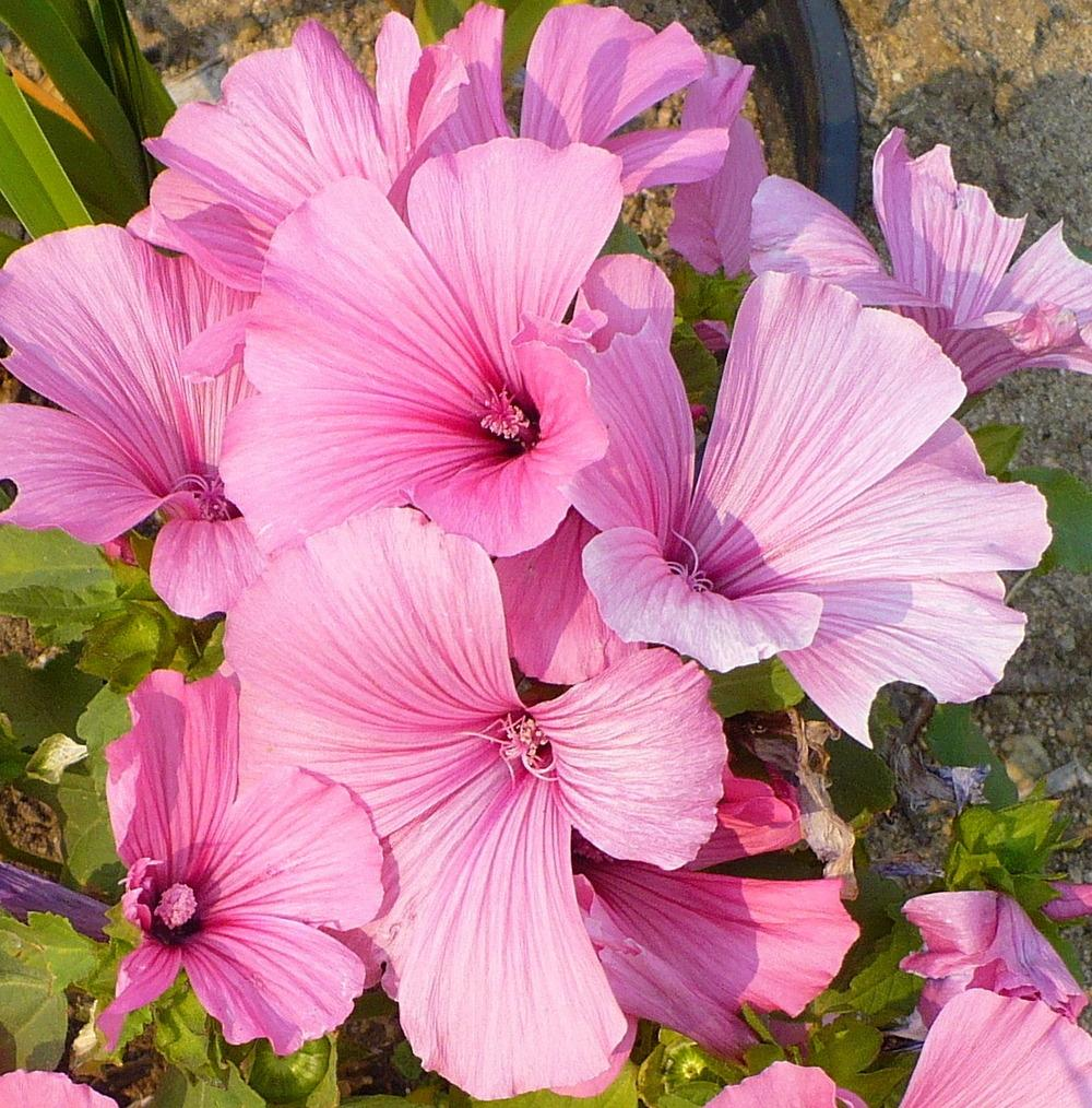 Photo of Annual Mallow (Malva trimestris 'Silver Cup') uploaded by HemNorth