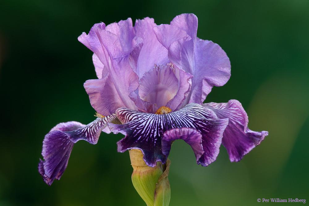 Photo of Tall Bearded Iris (Iris 'Drive Me Wild') uploaded by William