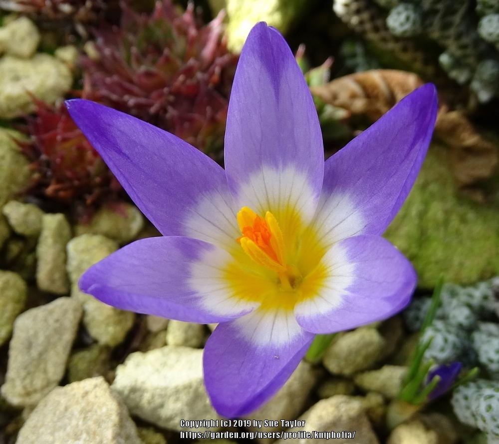 Photo of Crocus (Crocus nivalis 'Tricolor') uploaded by kniphofia