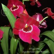 Location: Palm Sunday Orchid Show, MichiganDate: 2008-03-15